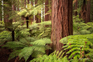 Redwoods Fern
