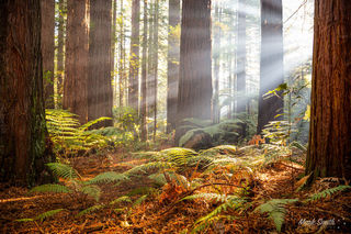 Redwood Sunrays